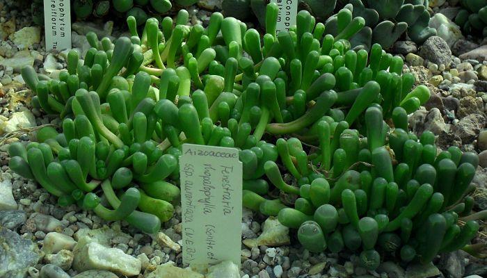 fenestraria-cultivo