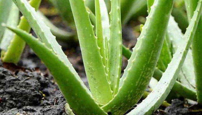 sabila-planta-sin-semilla