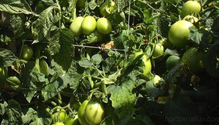 tutorado-tomate-de-pera