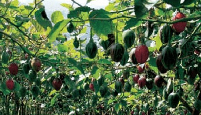 tomate-de-pera-cultivo