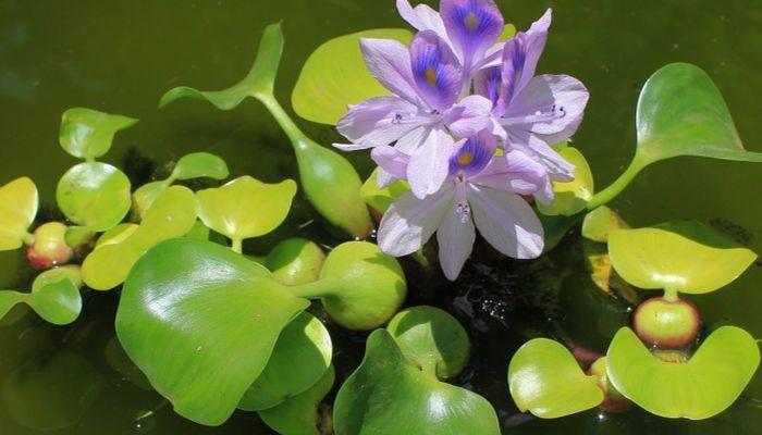 jacinto-de-agua-con-flor