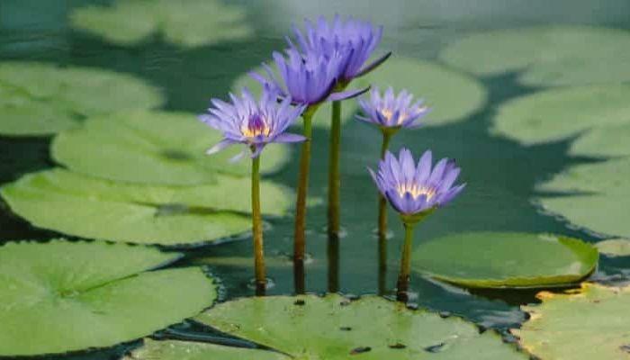 lily-floración
