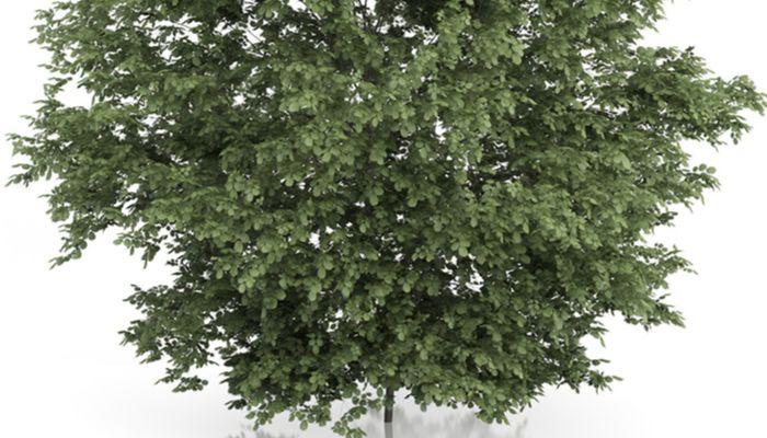 ablano-árbol