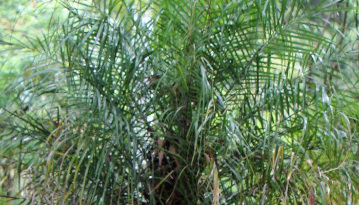 macauba-hojas