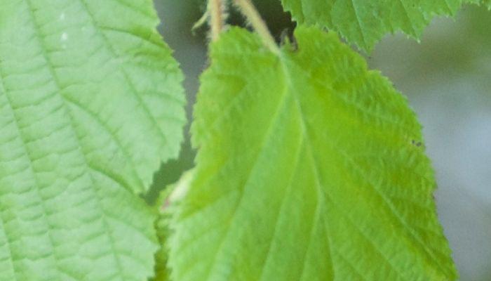 hojas-verdes