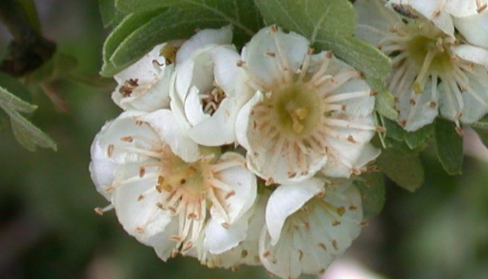 flores-de-acerolo