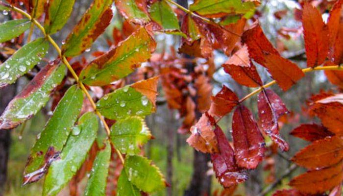 hojas-de-acerollo