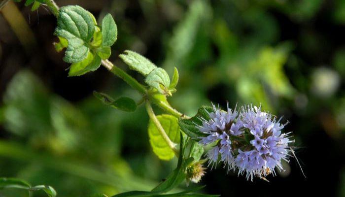 aguacatillo-flor