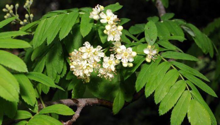 flores-acerollo