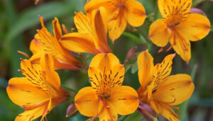flores-alstroemeria