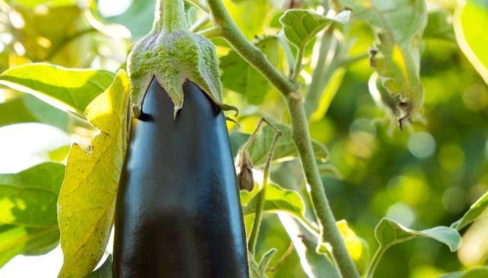 planta-berenjena-vegetal