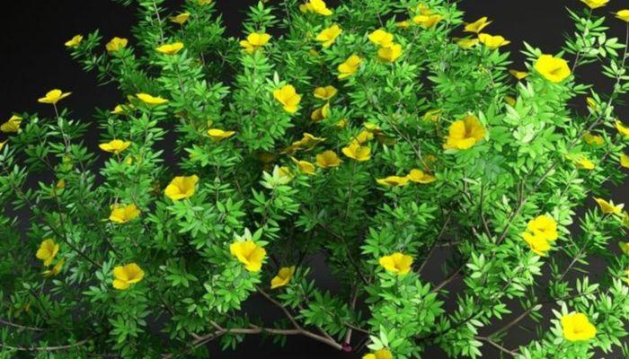 potentilla-amarilla