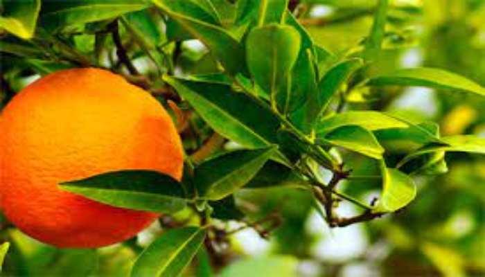 Naranjero Agrio