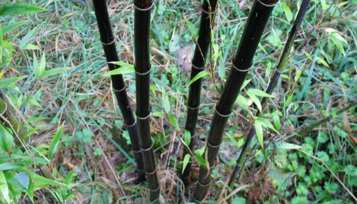 bambú-negro