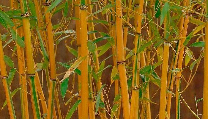 bambú-amarillo