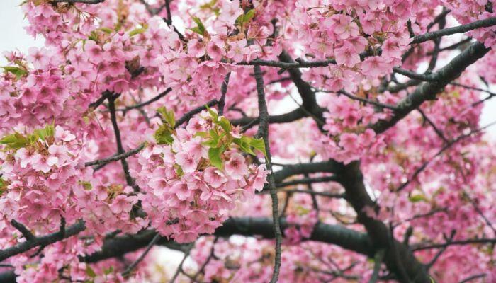 beneficios-y-propiedades-del cerezo